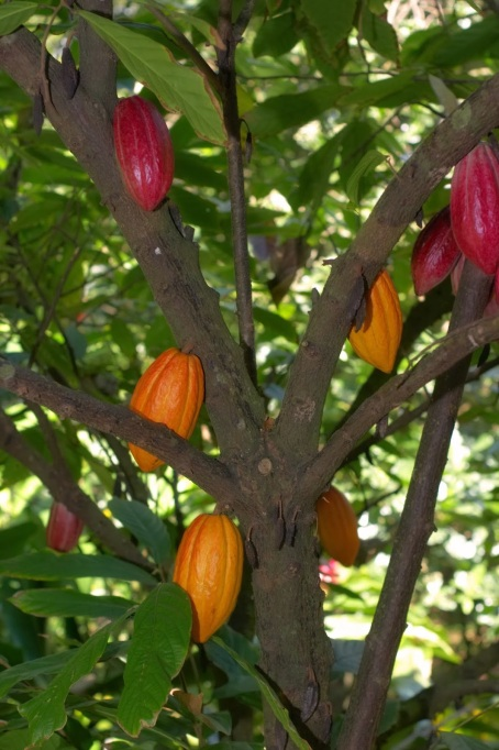 Cacao tree, or Theobroma cacao